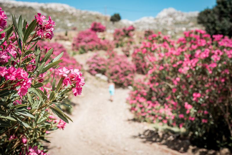 Oleander Griechenland Inseln Symi