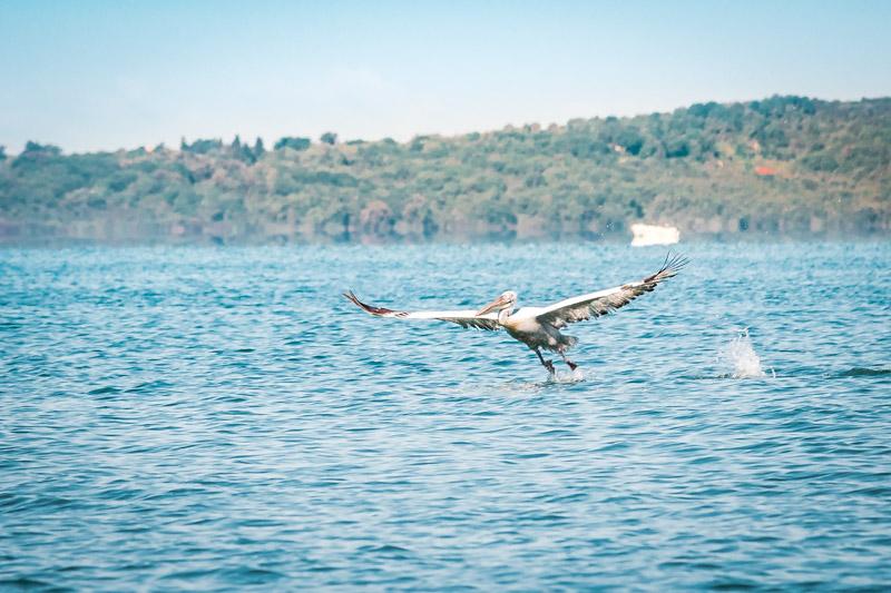 ambrakischer golf pelikan griechenland