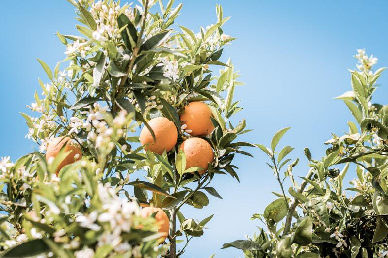 orangenblüte arta griechenland