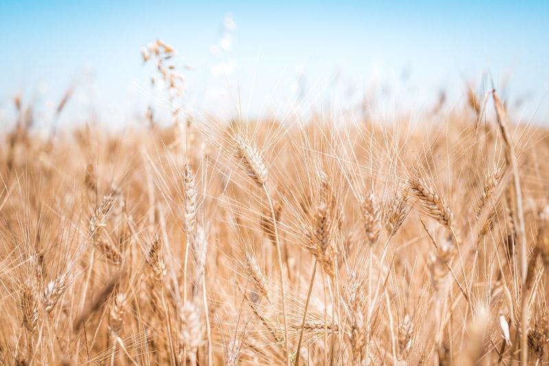 Getreide Griechenland Limnos Urweizen