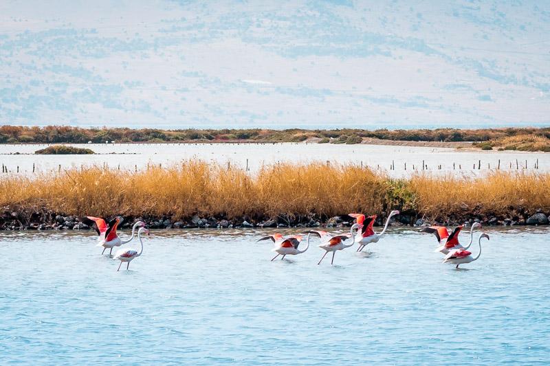 Lesvos flamingos golf kalloni salzseen lesbos