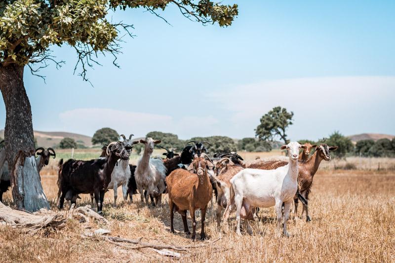 Ziegen Milch Griechenland Landwirtschaft Fleisch