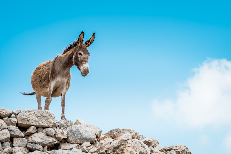 Esel Griechenland Olymbos Avlona Karpathos