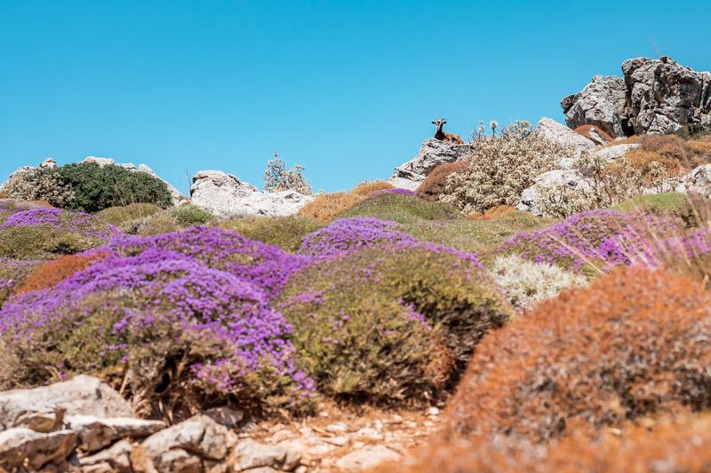 Wandern in Griechenland Karpathos Ziege