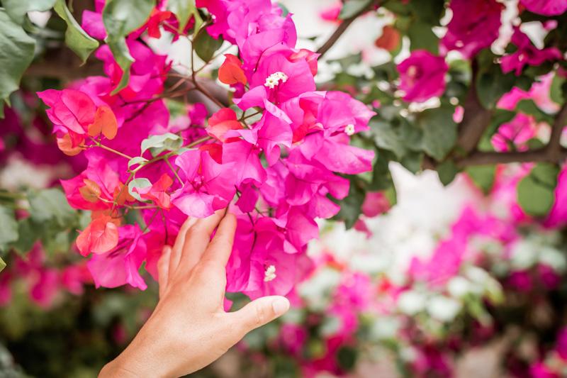 bougainvillea drillingsblume pflanzenwelt griechenland