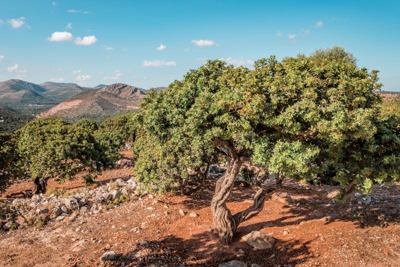 mastix chios mastic tree