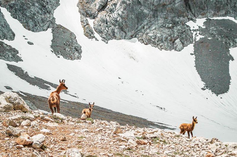 Olymp Tierwelt Gaemse auf Berg Plateau